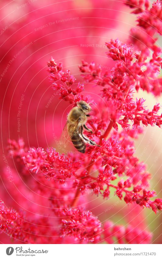 bee Nature Plant Animal Summer Flower Leaf Blossom Garden Park Meadow Wild animal Bee Animal face Wing 1 Observe Blossoming Fragrance Flying To feed Beautiful