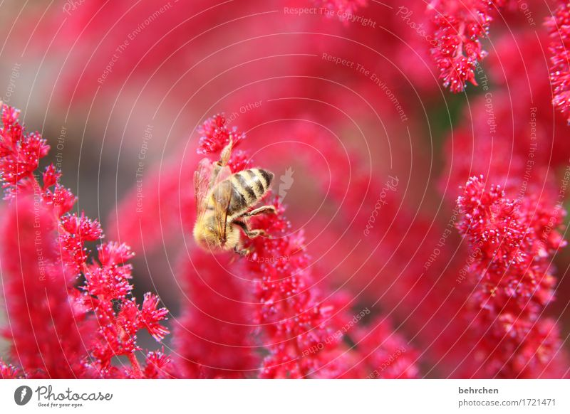 Lady in Red Nature Plant Animal Summer Beautiful weather Flower Blossom Garden Park Meadow Wild animal Bee Wing 1 Observe Blossoming Fragrance Flying To feed