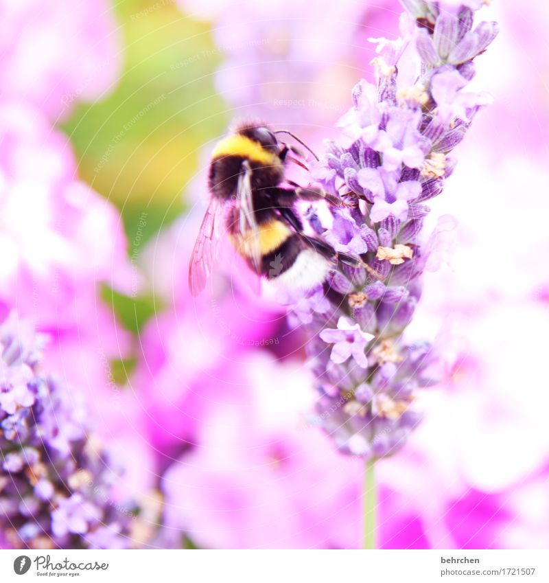 its summertime! Nature Plant Animal Summer Beautiful weather Flower Leaf Blossom Lavender flox Garden Park Meadow Wild animal Animal face Wing Bumble bee 1