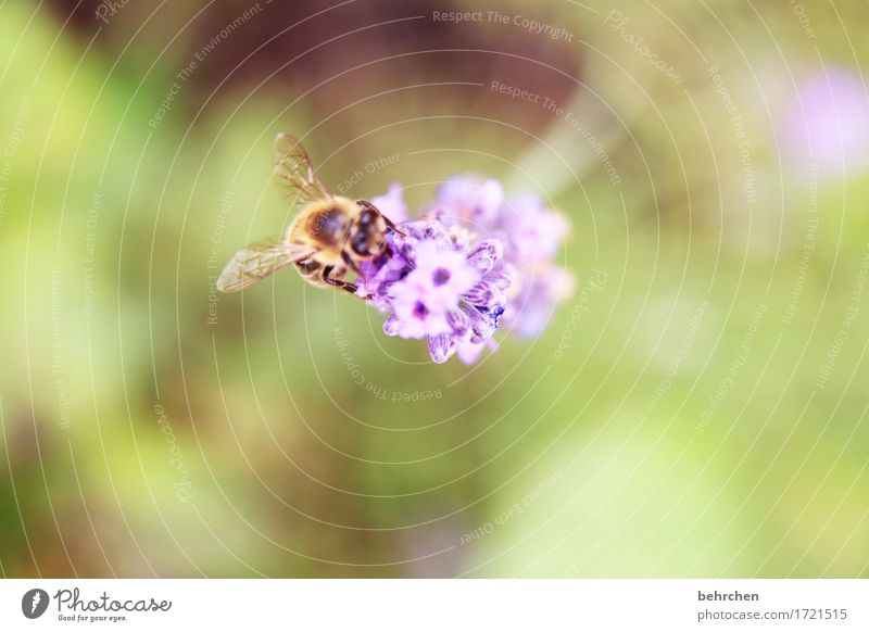 Delicious Lavender Nature Plant Animal Summer Beautiful weather Flower Leaf Blossom Garden Park Meadow Wild animal Bee Animal face Wing 1 Blossoming Fragrance
