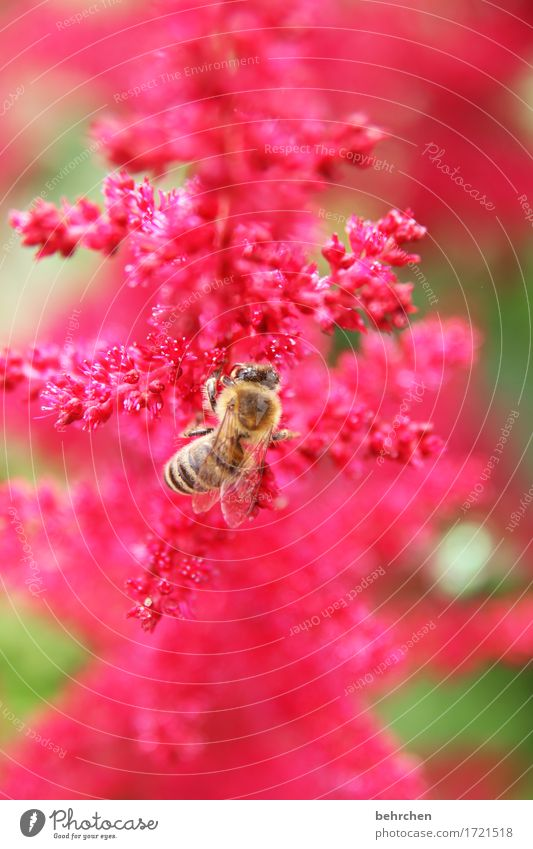 work and structure Nature Plant Animal Summer Flower Leaf Blossom Garden Park Meadow Wild animal Bee Wing 1 Blossoming Fragrance Flying To feed Beautiful Red