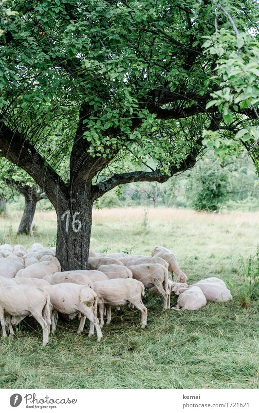 Swabian Country Tour | Tree Number 16 Environment Nature Landscape Plant Summer Meadow Pasture Animal Farm animal Pelt Sheep Flock Herd Relaxation Lie Stand