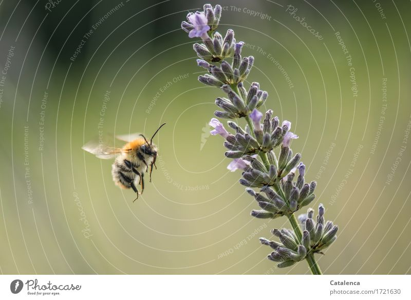 fluffy | with spike Nature Plant Animal Air Summer Flower Blossom Lavender Garden Meadow Wild animal Wing Insect Bumble bee 1 Work and employment Blossoming