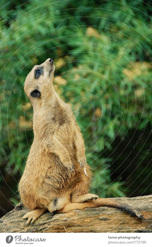 Curious? Colour photo Exterior shot Copy Space right Copy Space top Day Central perspective Animal portrait Upward Savannah Africa Wild animal Zoo Meerkat