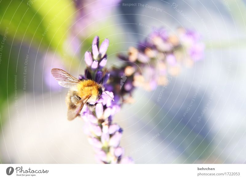 summer tune Nature Plant Animal Summer Flower Leaf Blossom Lavender Garden Park Meadow Wild animal Bee Wing 1 Observe Blossoming Fragrance Flying To feed