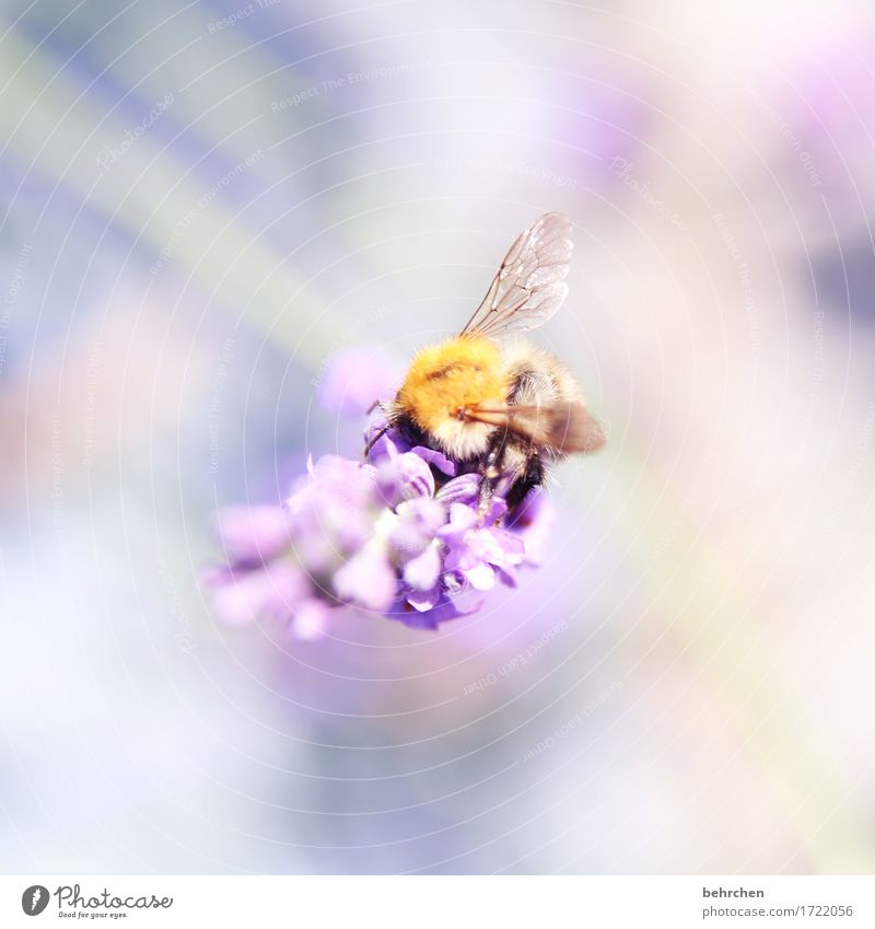 Floating Nature Plant Animal Summer Beautiful weather Flower Leaf Blossom Lavender Garden Park Meadow Wild animal Bee Wing Bumble bee 1 Blossoming Fragrance