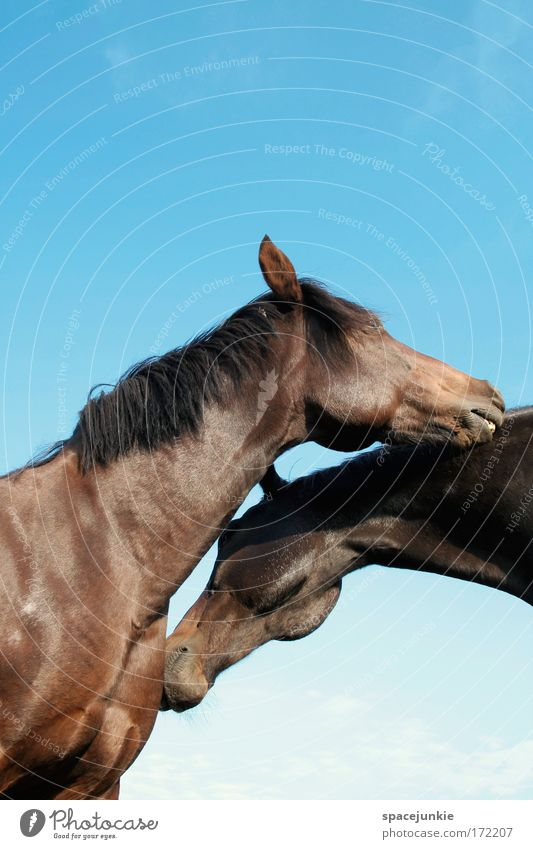 Happy horses Colour photo Exterior shot Neutral Background Day Sunlight Worm's-eye view Beautiful Ride Animal Horse 2 Pair of animals Touch Together To enjoy