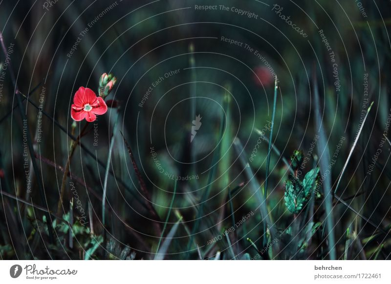 Nature Plant Summer Beautiful Flower Red Loneliness Leaf Dark Blossom Sadness Meadow Grass Small Garden Park