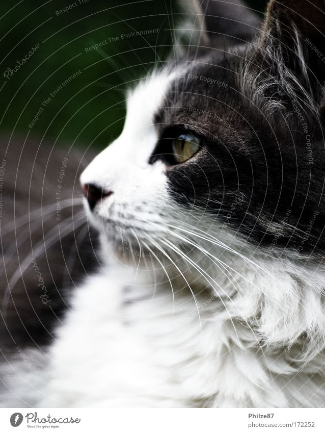 chaser of the night Colour photo Exterior shot Close-up Day Looking away Garden Pet Cat Animal face Pelt 1 Observe Hunting Cuddly Astute Smart Gray White