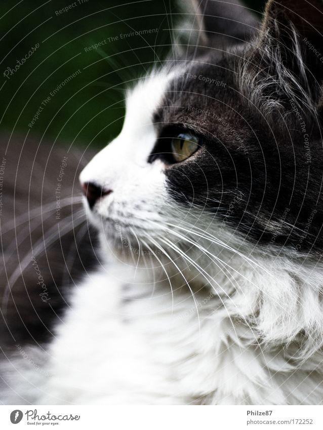 White Animal Garden Gray Cat Power Animal face Observe Uniqueness Pelt Curiosity Hunting Pet Senses Ease Cuddly