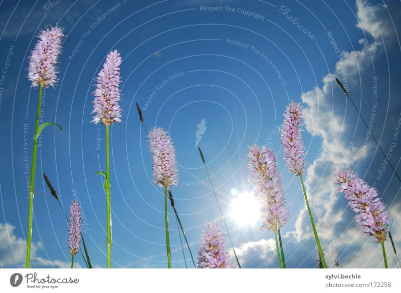 Nature Sky White Sun Green Blue Plant Summer Clouds Meadow Blossom Grass Warmth Pink Environment Growth