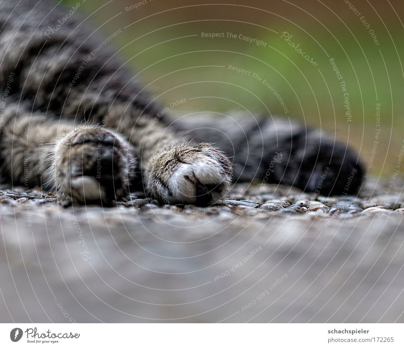 photo Colour photo Exterior shot Copy Space bottom Evening Shallow depth of field Animal Pet Cat European Shorthair 1 Relaxation Lie Sleep Safety (feeling of)