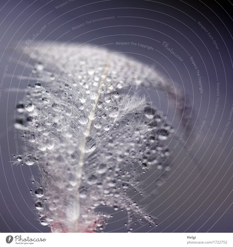 fluffy | with pearls Drops of water Summer Feather To hold on Glittering Lie Esthetic Exceptional Beautiful Uniqueness Small Wet Natural Blue Gray White Nature