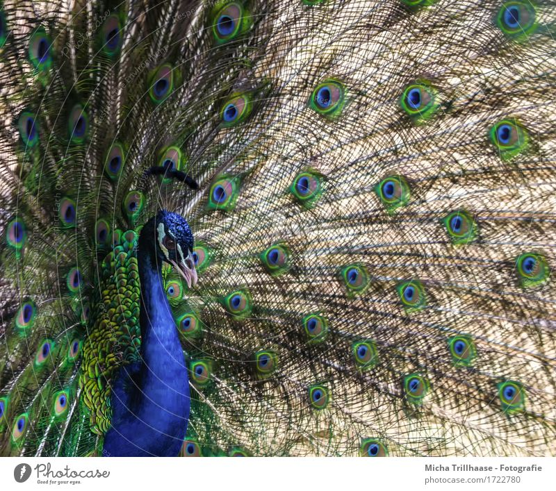 peacock Elegant Animal Wild animal Bird Animal face Wing Peacock 1 Rutting season Illuminate Looking Stand Exotic Glittering Beautiful Natural Blue