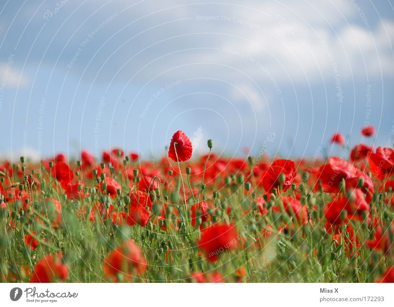 poppy Colour photo Multicoloured Exterior shot Shallow depth of field Nature Plant Summer Beautiful weather Flower Blossom Meadow Field Hill Growth Fragrance