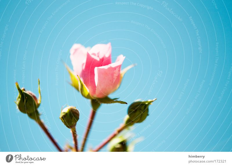 Nature Beautiful Sky Flower Plant Summer Blossom Spring Happy Healthy Design Environment Fresh Rose Happiness Esthetic