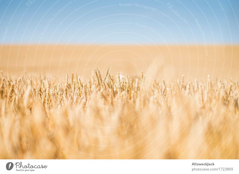 Cornfield 3 Landscape Summer Agricultural crop Field Yellow Gold Grain Grain field Harvest Agriculture Colour photo Exterior shot Close-up Detail Deserted Day