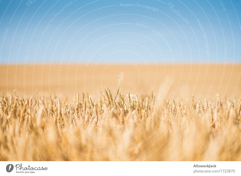Cornfield 2 Landscape Summer Agricultural crop Field Yellow Gold Agriculture Grain Grain field Colour photo Exterior shot Close-up Detail Deserted Day Blur