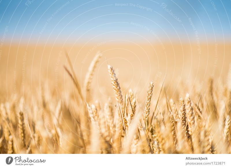 Cornfield 1 Landscape Summer Agricultural crop Field Yellow Gold Agriculture Grain Grain field Colour photo Exterior shot Close-up Detail Deserted Day Blur