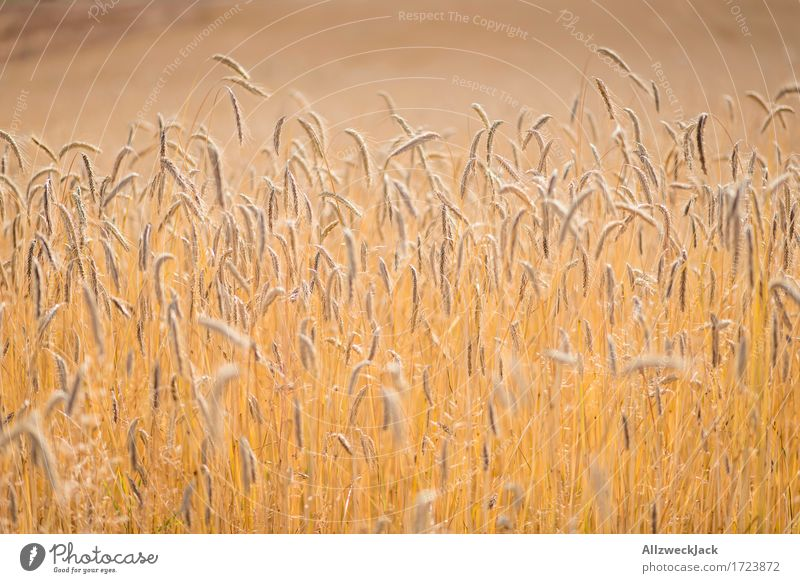 Summer Landscape Yellow Field Gold Agriculture Grain Harvest Cornfield Agricultural crop Ear of corn Grain field Golden yellow