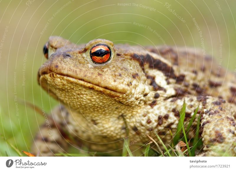 portrait of brown common toad Skin Life Environment Nature Animal Grass Natural Cute Slimy Wild Brown Green Toad frog amphibian bufo Living thing Horizontal