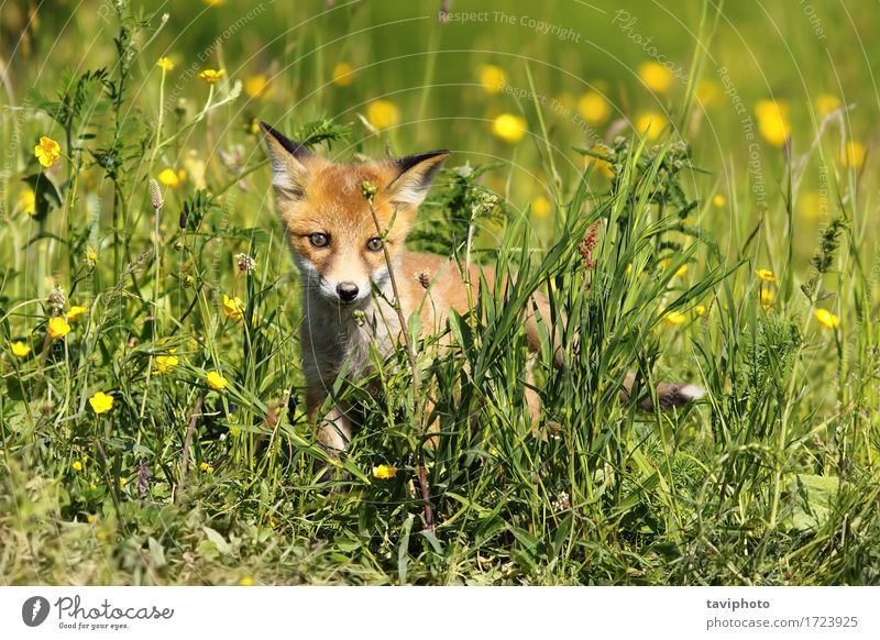 small young fox Beautiful Baby Environment Nature Animal Grass Fur coat Dog Baby animal Small Natural Cute Wild Brown Green Red Fox wildlife Mammal vulpes