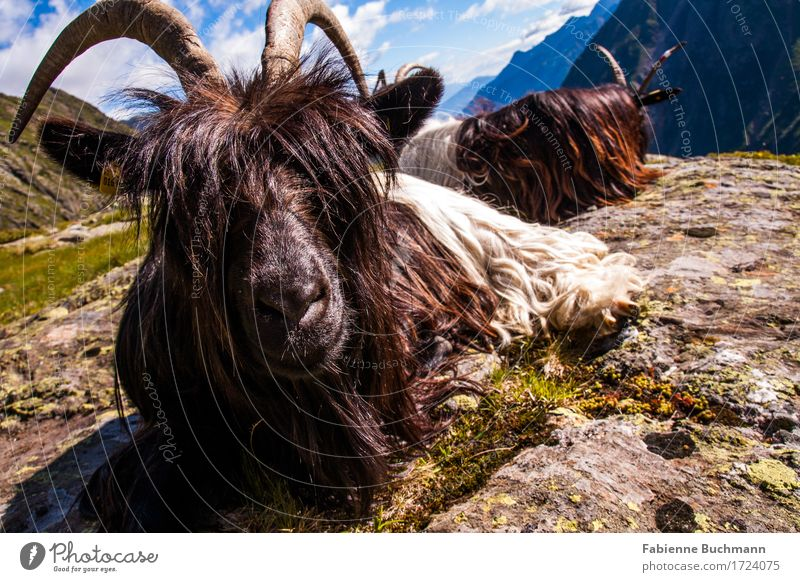 it's all about looks Summer Sun Mountain Hiking Landscape Animal Beautiful weather Alps Farm animal Animal face Pelt Goats Antlers 2 Sit Blue Brown Gray Green