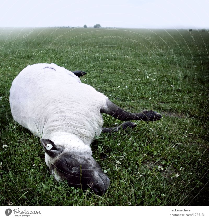 Death and the little sheep Nature Landscape Sky Clouds Horizon Bad weather Fog Grass Meadow Field Animal Pet Farm animal Dead animal 1 Herd Lie Loneliness