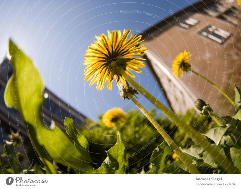 dandelion Colour photo Exterior shot Deserted Day Sunlight Shallow depth of field Worm's-eye view Fisheye Environment Nature Plant Earth Sky Spring Climate