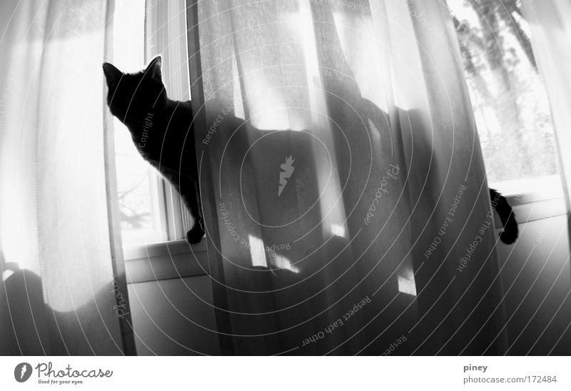 illusion Cat 1 Animal Wood Observe Freeze Crouch Listening Walking Looking Esthetic Dark Thin Simple Elegant Happiness Long Natural Cute Wild Black White Window