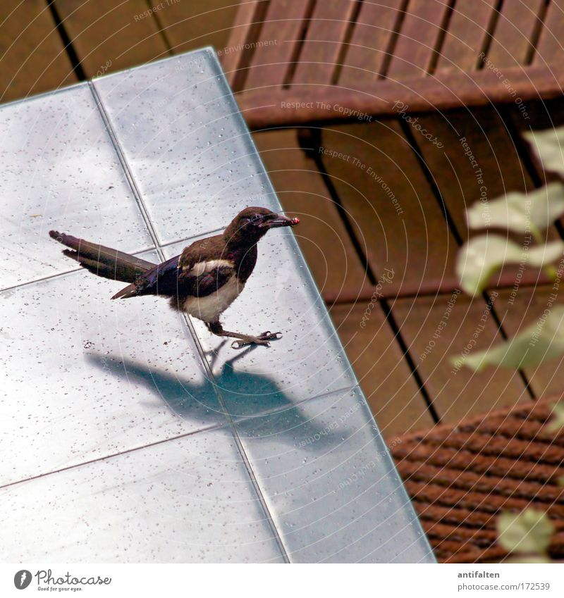 Nature Blue Plant Summer Action Animal Gray Bird Table Wing Raven birds Terrace Berries Brash Claw Foraging