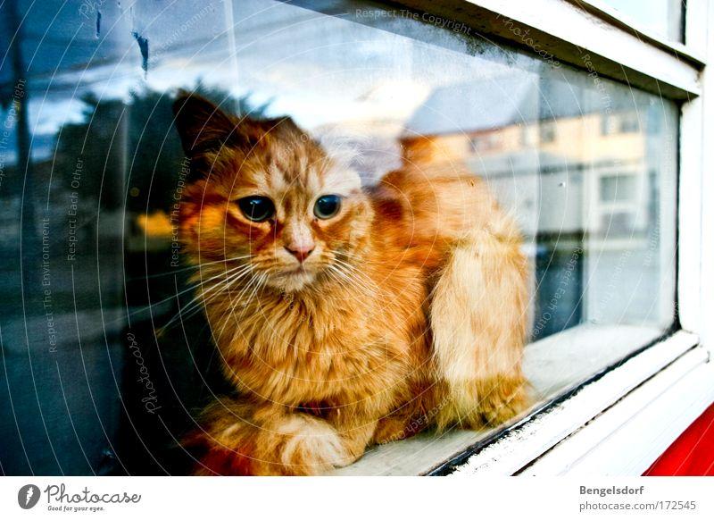 Calm Loneliness Animal Window Dream Sadness Cat Hope Animal face Lie Observe Longing Pelt Curiosity Barrier