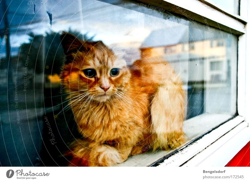 The other side of the world Window Animal Pet Cat Animal face Pelt Paw 1 Observe Lie Dream Calm Curiosity Hope Sadness Longing Wanderlust Disappointment