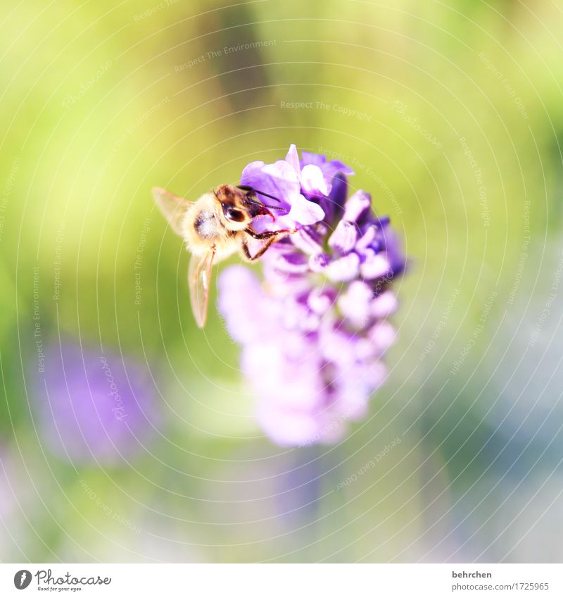 daintily Nature Plant Animal Summer Beautiful weather Flower Leaf Blossom Lavender Garden Park Meadow Wild animal Bee Animal face Wing 1 Observe Blossoming