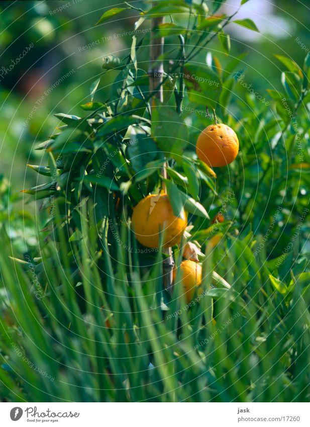 orange bush Bushes Tree Leaf Green Orange Fruit