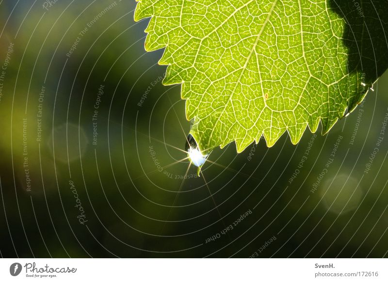 Solar star1 Colour photo Exterior shot Close-up Deserted Morning Sunlight Nature Plant Water Drops of water Beautiful weather Leaf Green cherry leaf Rachis