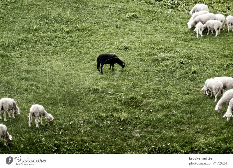 Nature White Green Black Nutrition Loneliness Animal Meadow Grass Landscape Deprivation Group of animals Uniqueness Pasture Sheep