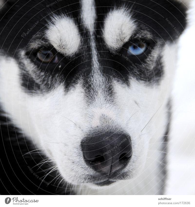 Animal Eyes Dog Baby animal Watchfulness Pet Snout Fix Beard hair Husky