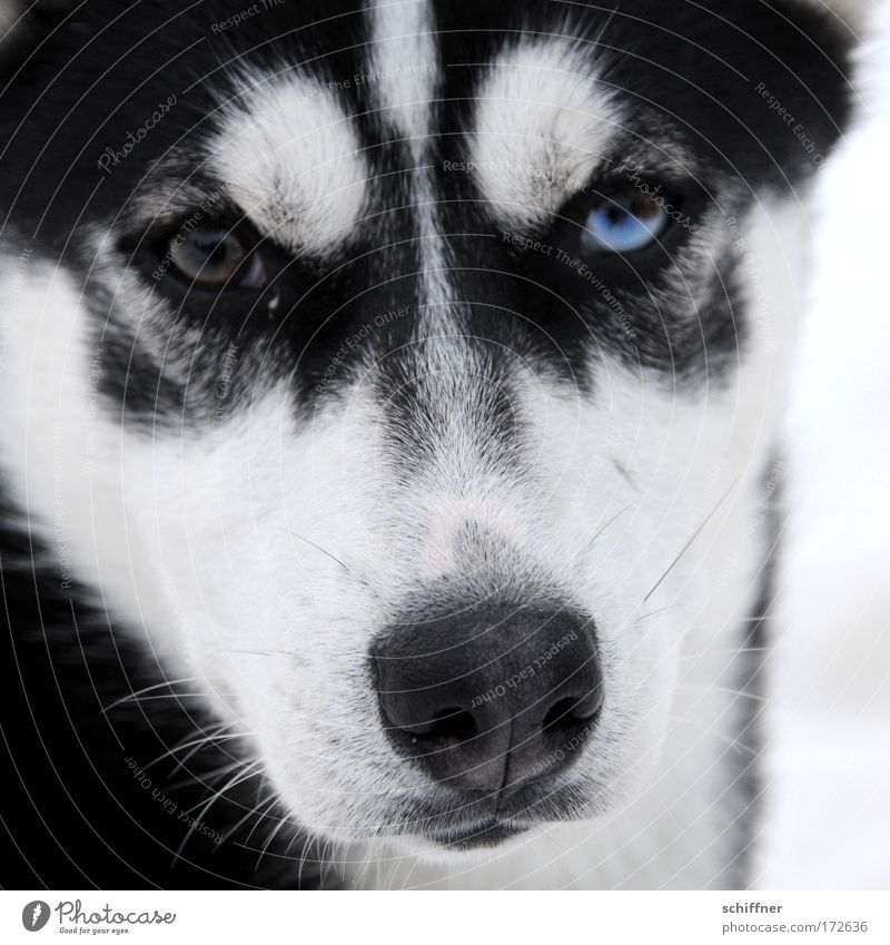 Look me in the eye, little one. Close-up Animal portrait Pet Dog 1 Looking Husky Snout Beard hair Watchfulness Fix Eyes Baby animal
