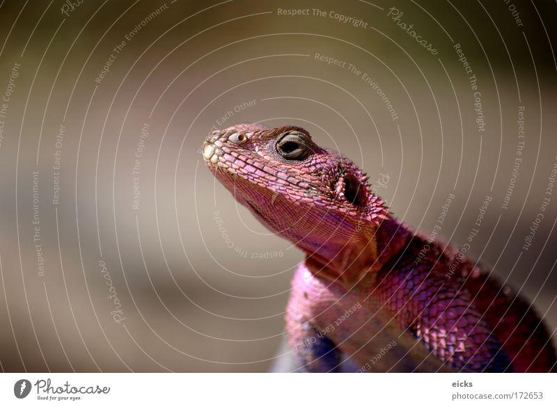 Colour Head Pink Change Reptiles Dinosaur Iguana Scales Gecko Lizards Chameleon