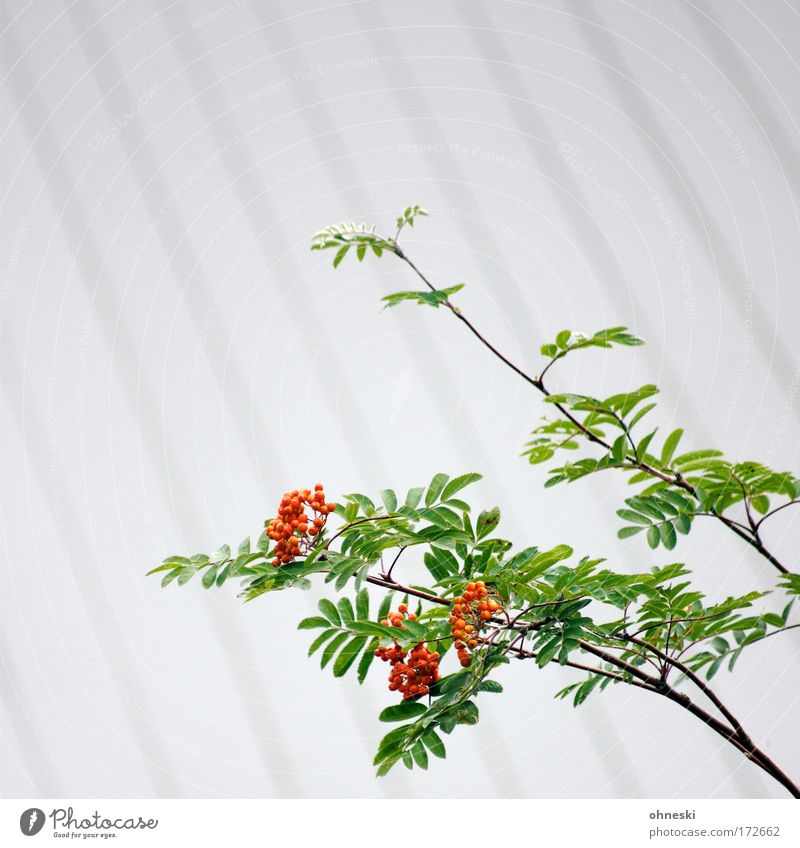 Nature Plant Green White Red Environment Line Clean Berries Fruit Fruit trees Rawanberry Rowan tree