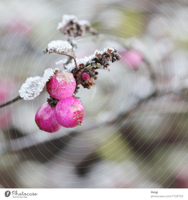 Nature Plant White Leaf Winter Environment Cold Natural Small Garden Exceptional Gray Brown Pink Ice Esthetic