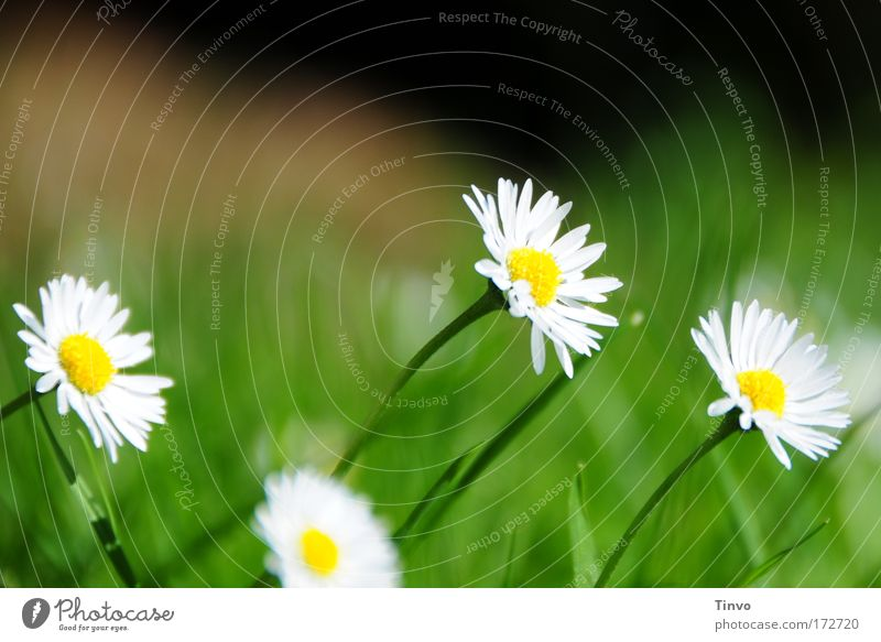 Flower Green Plant Summer Yellow Meadow Blossom Grass Spring Sadness Longing Daisy Exhaustion Meadow flower