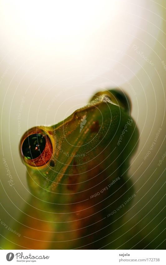 frog face Animal Virgin forest Wild animal Frog Animal face 1 Observe Looking Wait Green Portrait format Colour photo Subdued colour Exterior shot Close-up