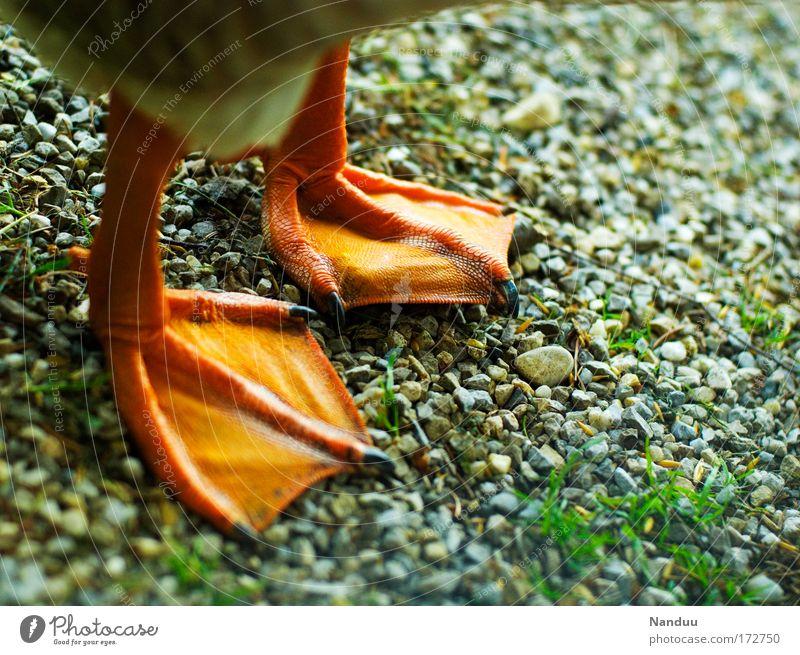 Animal Orange Bird Funny Animal foot Stand Ground Cute Duck Gravel Goose Claw Farm animal Quack Webbing