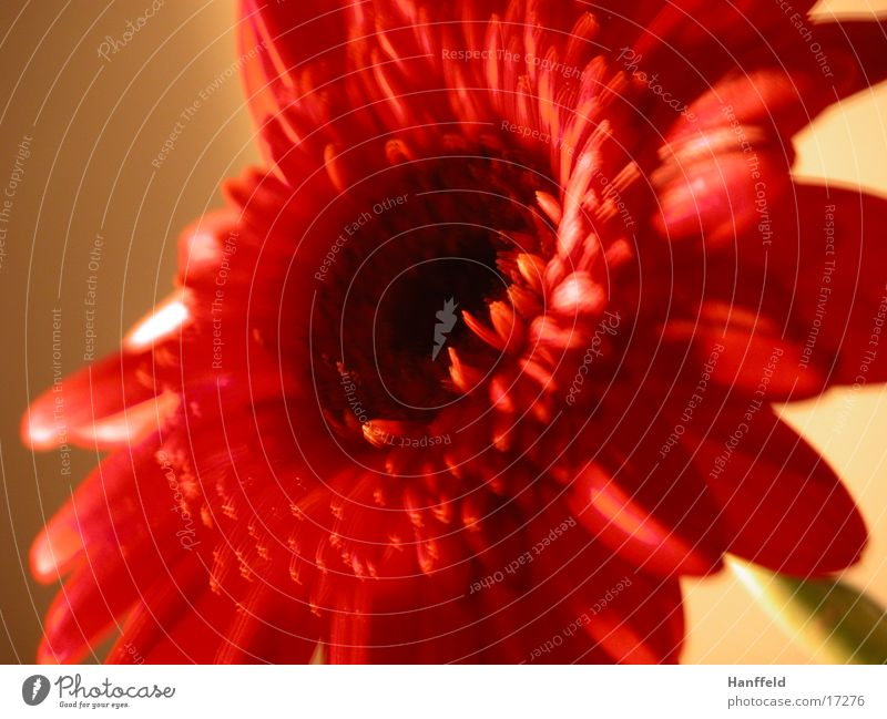 room flower Flower Red Lighting Flat (apartment) Wall (building) Leisure and hobbies Close-up germini