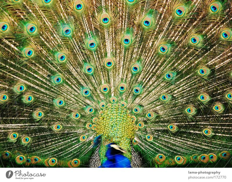 Blue Green Beautiful Animal Eyes Emotions Glittering Elegant Feather Kitsch Zoo Bird Pattern Exotic Presentation Love of animals
