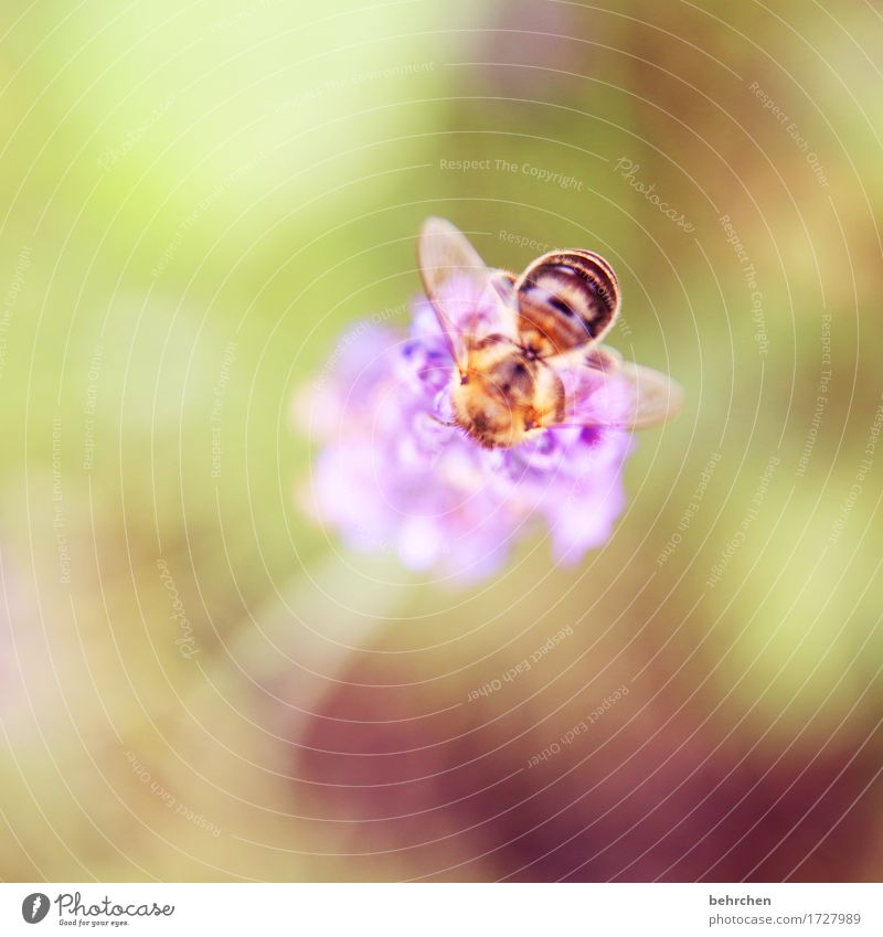 morse Nature Plant Animal Summer Beautiful weather Flower Leaf Blossom Lavender Garden Park Meadow Wild animal Bee Wing 1 Observe Blossoming Fragrance