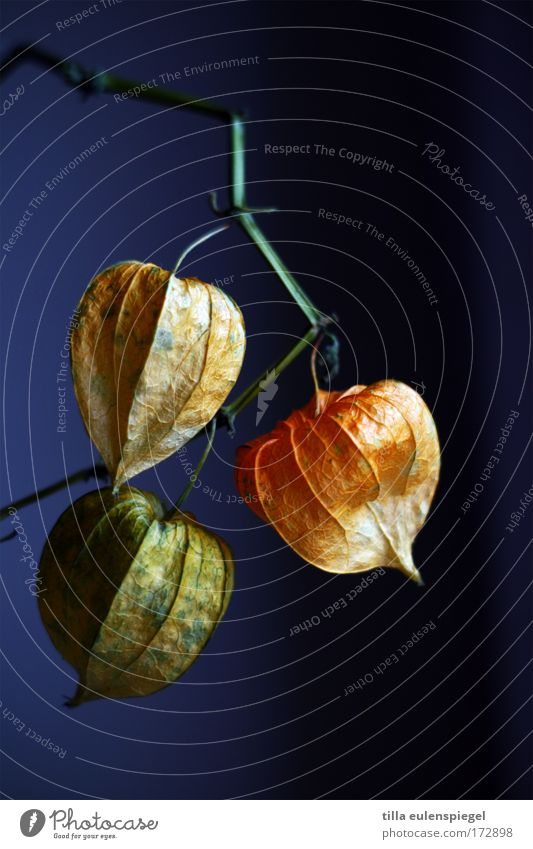 lantern Colour photo Plant Exotic To dry up Dry Violet Transience Chinese lantern flower Dried flower Physalis
