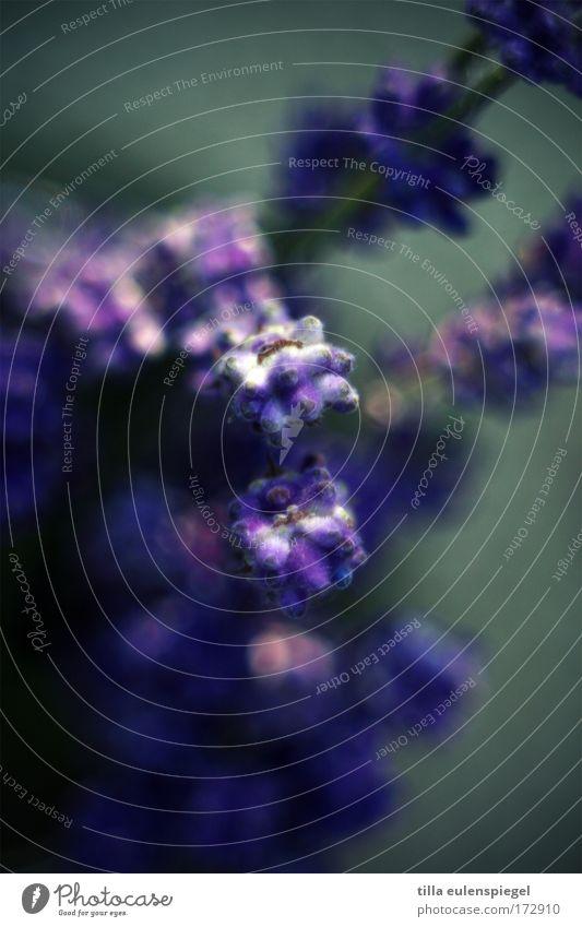 Plant Blossom Violet Bouquet Exotic Lavender Medicinal plant Provence